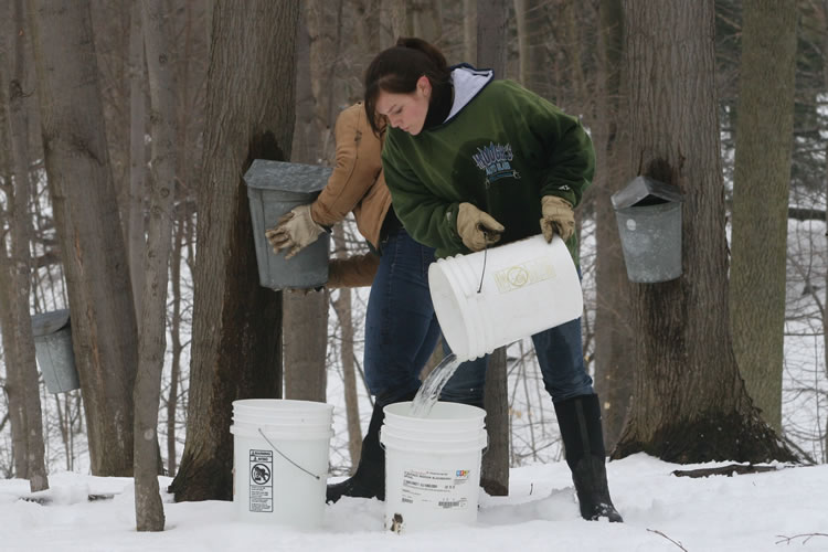 How Much Sap Can One Tree Produce?