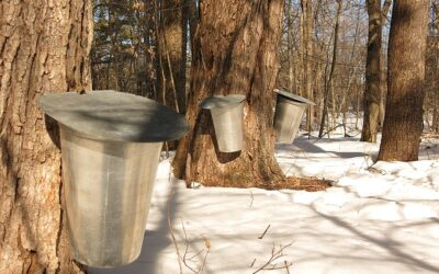 Which Variety of Maple Tree Produces the Best Syrup?